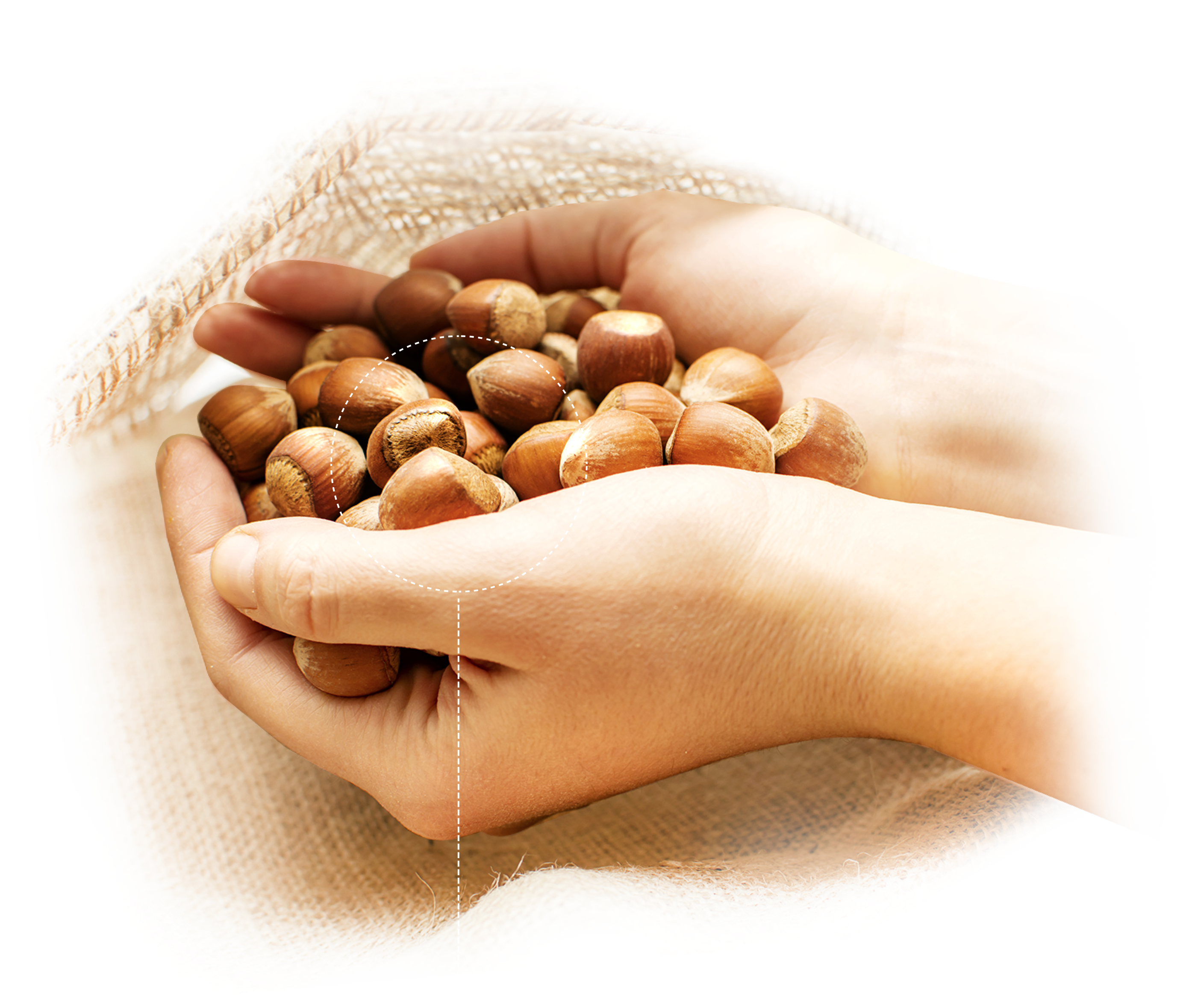 Hands with hazelnuts