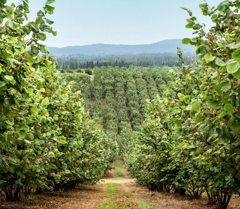 Hazelnuts orchards